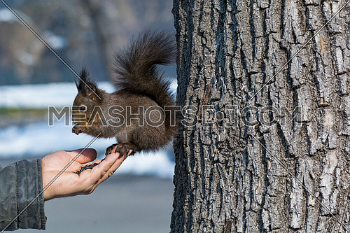 Squirrel in the park eats sunflower seeds from hand