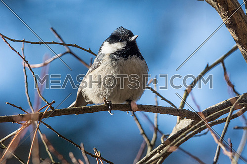 Coal tit (Periparus ater) on branch. Small woodland bird in the family Paridae