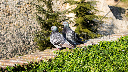 Pigeons on the wall with blured background