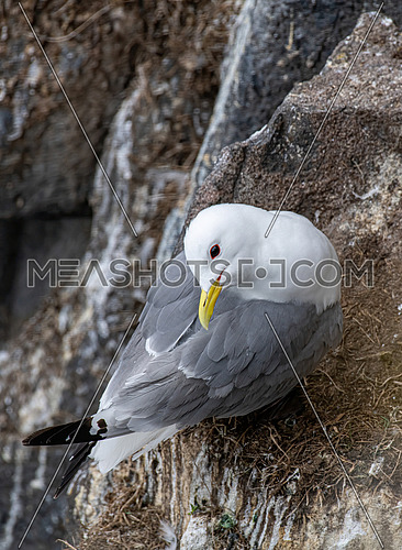 Kittiwake (Rissa tridactyla) standing on the cliffs
