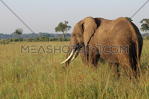 An african Elephant in the wild