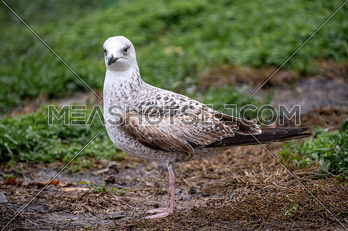 Close up of Caspian Gull, Larus cachinnans on field.