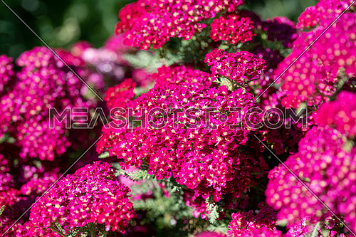 Close up of yarrow flowers (Achillea millefolium)