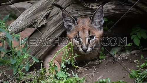 Close up portrait of one cute baby caracal kitten hiding under wood stump and looking at camera alerted, low angle view