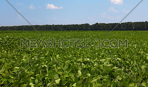 Close up field of green soya plants under clear blue sky, high angle view