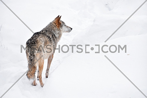 Close up full length rear view portrait of one grey wolf standing in deep winter snow and looking away alerted, high angle