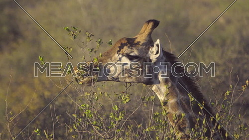 View of a Giraffe grazing at the top of a tree