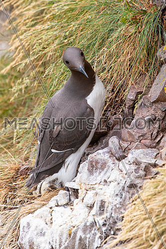Close up shot of guillemot (Uria aalge) on the cliffs of the Isle of May