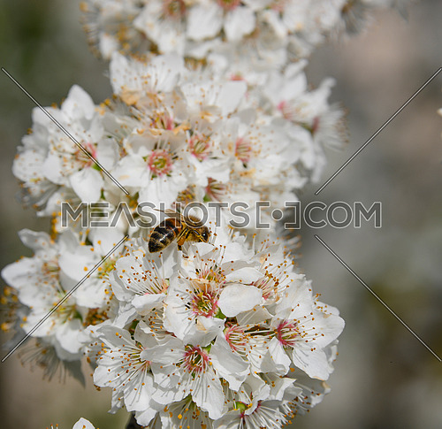 Close up honey bee pollinate on white cherry tree blossom, low angle view