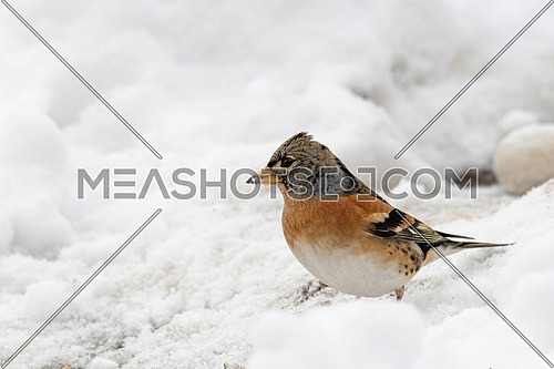 Brambling (Fringilla montifringilla) in snow searching for food Migration in winter