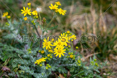 Senecio doria ,Native to Central and Southern Europe, Western Asia, Northern Africa