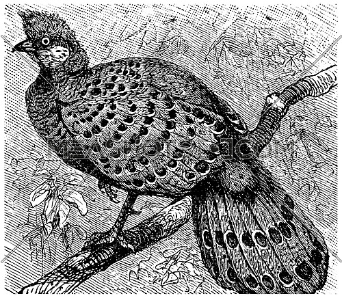 Polyplectron, vintage engraved illustration. La Vie dans la nature, 1890.
