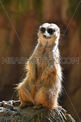 Close up front portrait of one meerkat sitting on a rock and looking at camera alerted over brown background, hifgh angle view