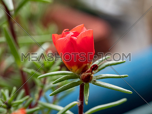 Portulaca grandiflora is a plant species are distributed throughout Europe