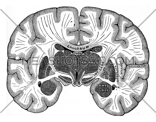 Vertical section of brain, vintage engraved illustration.