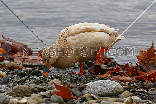 Female mallard duck looking for food on a rocky lakeside beach