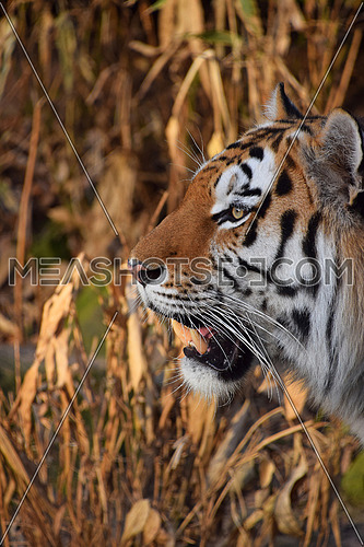Close up side profile portrait of Siberian tiger (Amur tiger, Panthera tigris altaica) over reed or bamboo