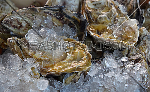 Fresh big raw oysters unopen in shells on crushed ice, close up