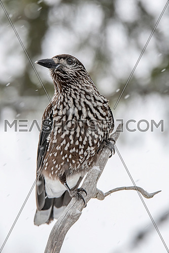 Spotted Nutcracker (Nucifraga caryocatactes) sitting on the perch