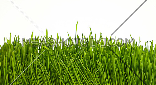 Spring fresh green grass greenery close up over white background, low angle view