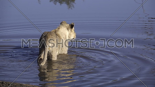 View of two lions hunting a crocodile