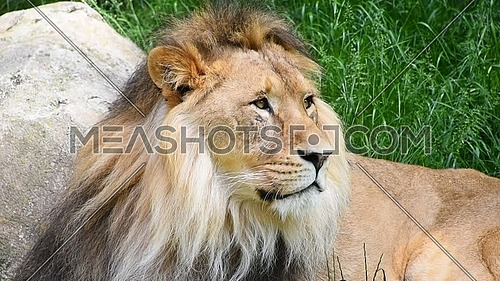 Close up portrait of one male lion turning head and looking at camera over background of green grass and rocks, low angle view