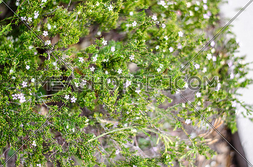 very small white flowers in a green bush