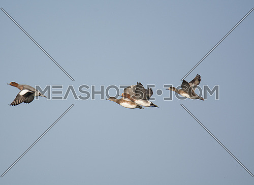 ferruginous Duck flying