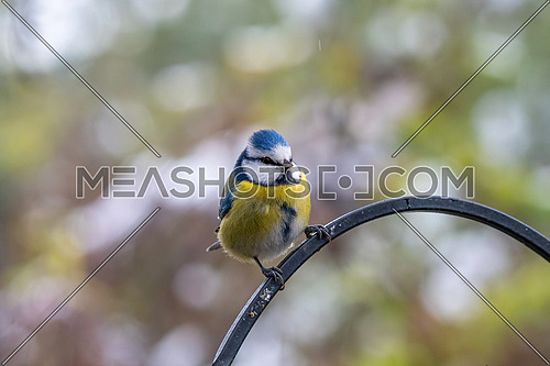 Blue tit (Cyanistes caeruleus) taking nuts from bird feeder with copy space