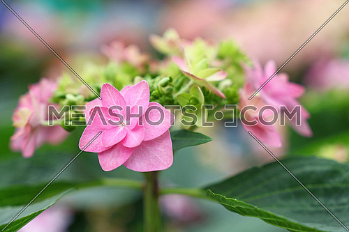 Close up fresh pink hydrangea or hortensia flowers