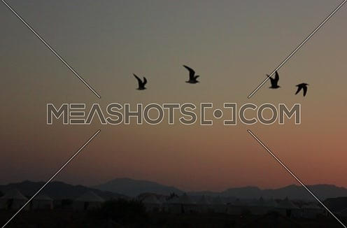 Follow shot for birds flying with a mountian in background at sunset at wadi lahmi - 5D