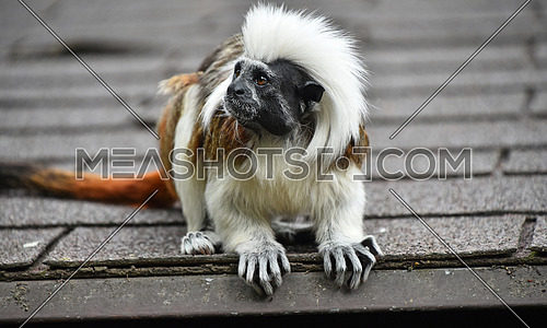 Close up profile portrait of one small cotton-top tamarin (Saguinus oedipus) monkey sitting on the roof and looking away, low angle front view