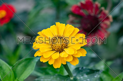 Zinnia flower in spring blossom, closeup view of spring zinnia flower. Flower spring background with spring zinnia flower blooming in the spring garden. Spring flower background.