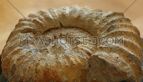 Close up petrified extinct prehistoric ammonite fossil spiral shell remains