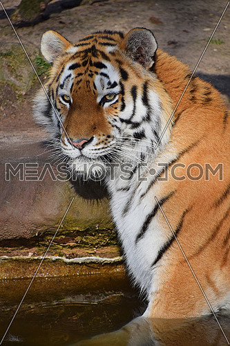 Close up portrait of young Siberian tiger (Amur tiger, Panthera tigris altaica) in water, looking at camera, high angle view