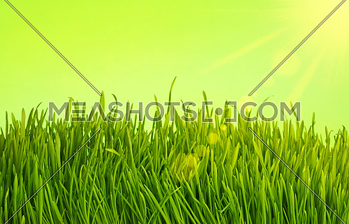 Close up fresh spring grass growing over green background with sunshine and copy space, low angle view