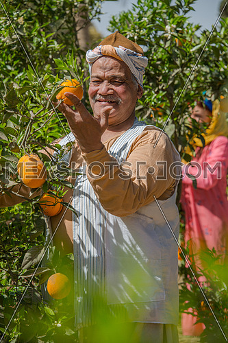 Egyptian farmer looking at oranges on a tree