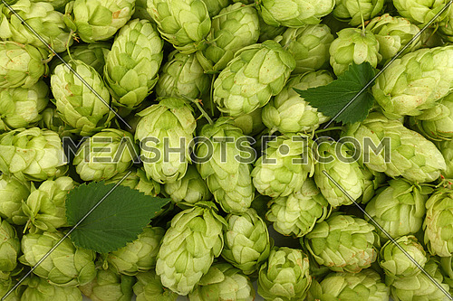 Close up full frame background pattern of fresh green hops with leaves, ingredient for beer or herbal medicine, elevated top view, directly above
