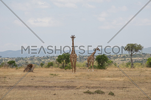 Girrafes in Masai mara national Reserve Kenya