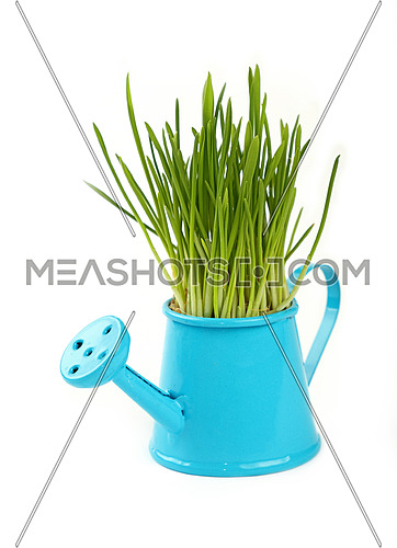 Spring fresh green grass growing in small blue metal watering pot, close up over white background, side view
