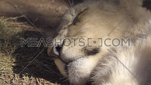 View of lion cub sleeping in shade