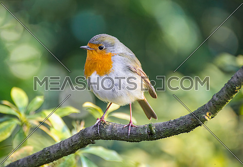 European robin (Erithacus rubecula) tweeting on a tree branch in garden.