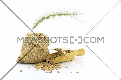 Wheat still life with fresh seeds spilling from a rustic hessian sack and wooden scoop onto a white background with golden ears of grain and copy space