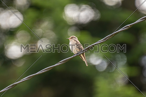 africa, animal, asia, avian, background, beak, beautiful, beauty, bird, birdwatching, branch, brown, catcher, colored, environment, fauna, feather, flycatcher, forest, green, habitat, leaves, living, migratory, muscicapa, natural, nature, one, ornithology, outdoors, perched, single, sitting, small, songbird, spotted, spotted-flycatcher, spring, striata, summer, tree, white, wild, wildlife, wing, wintering