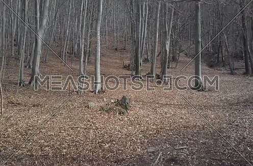 Smooth forward motion through a beech tree forest in the winter with a carpet of foliage on the ground