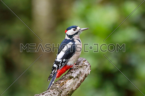 Great spotted woodpecker (Dendrocopos major) perching on beech trunk