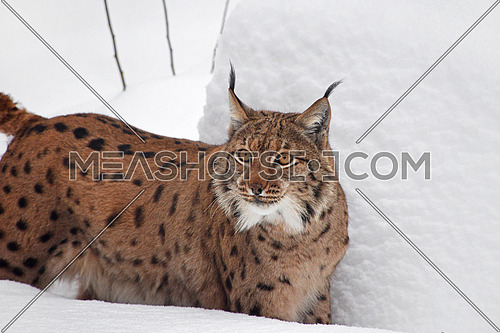 Close up upper body portrait of Eurasian lynx standing in deep winter snow and looking at camera alerted, low angle side view