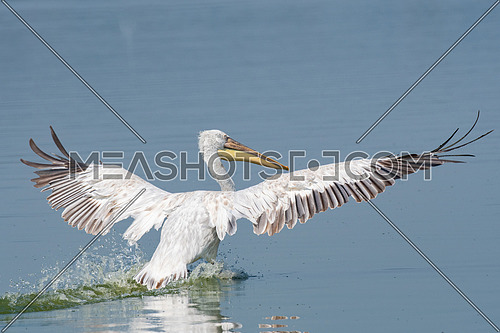 Dalmatian pelican (Pelecanus crispus) shot  at lake Kerkini in Greece. Wildlife in natural habitat