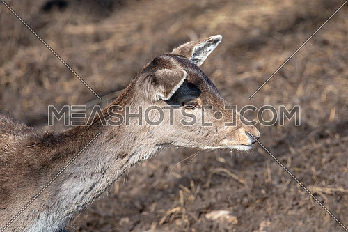 Close-up portrait of Fallow deer (Dama Dama) in winter