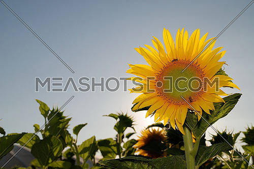 sunflower at sunny day   (NIKON D80; 6.7.2007; 1/125 at f/7.1; ISO 100; white balance: Auto; focal length: 35 mm)